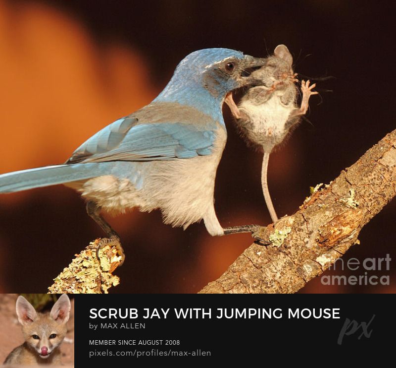Scrub Jay with jumping mouse in mouth