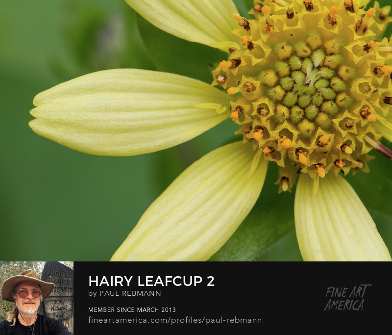 View online purchase options for Hairy Leafcup #2 by Paul Rebmann