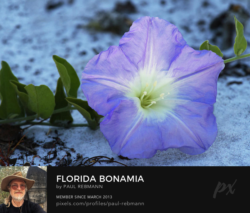 View online purchase options for Florida Bonamia by Paul Rebmann