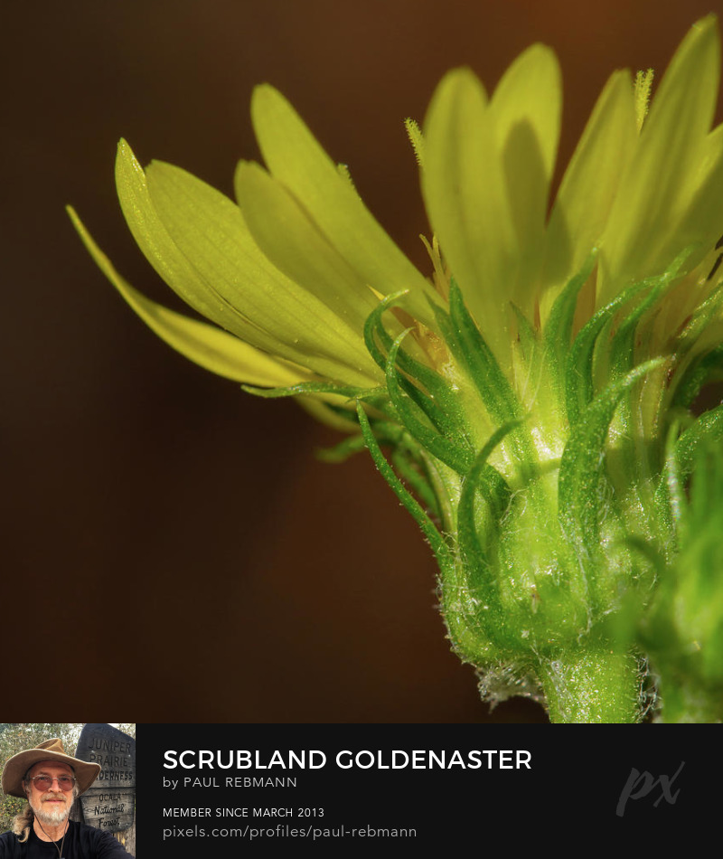 View online purchase options for Scrubland Goldenaster by Paul Rebmann