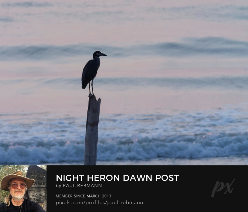 View online purchase options for Night Heron Dawn Post by Paul Rebmann