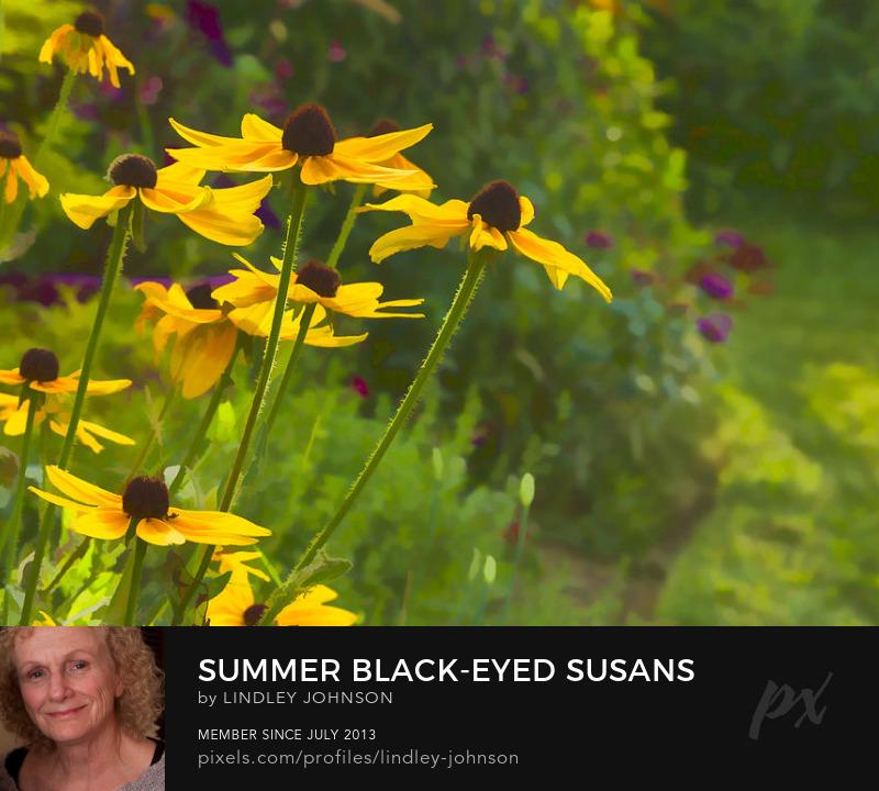 Black-eyed Susans garden photograph by Lindley Johnson