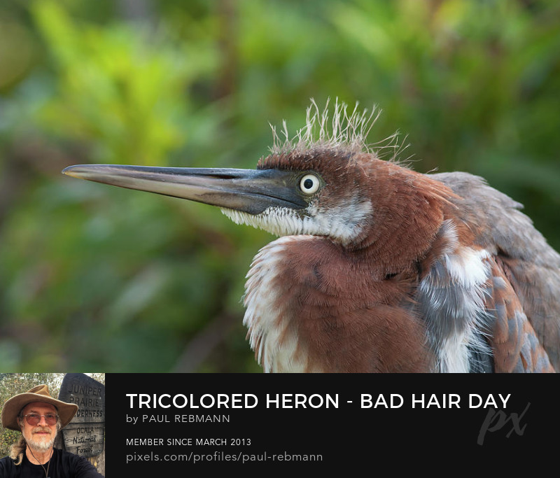 View online purchase options for tricolored Heron - Bad Hair Day by Paul Rebmann
