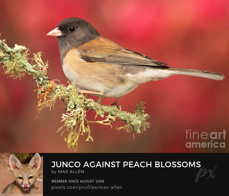 Junco against peach blossoms