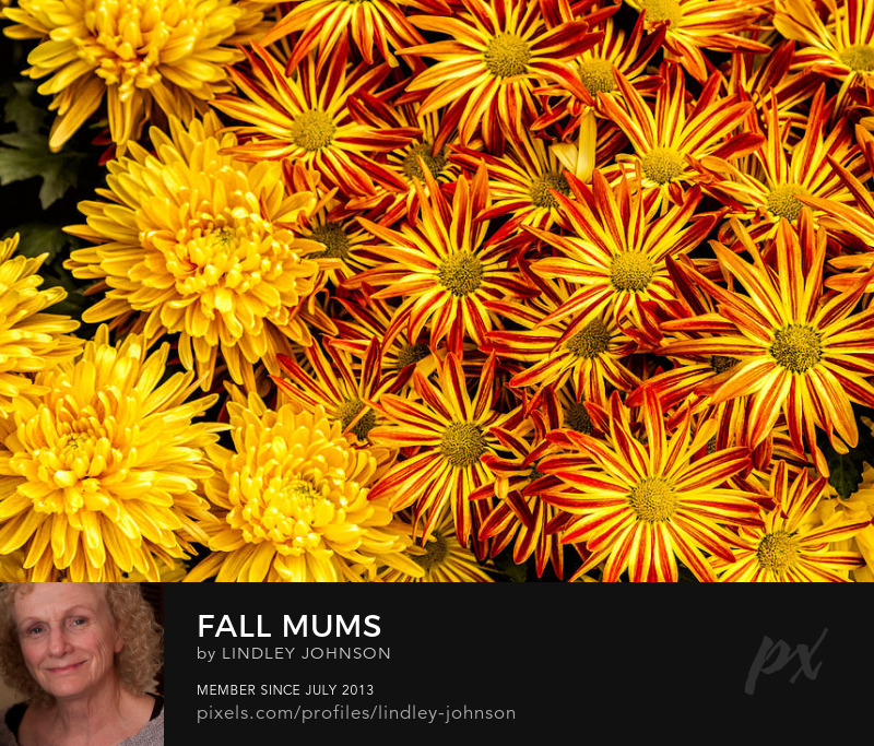 Fall Mums yellow red orange photograph by lindley johnson