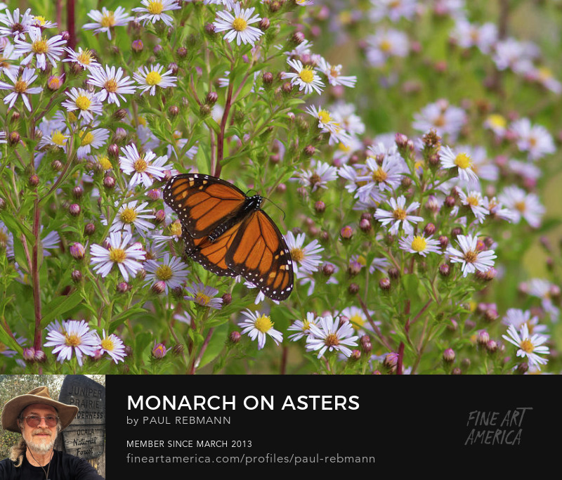 View online purchase options for Monarch on Asters by Paul Rebmann