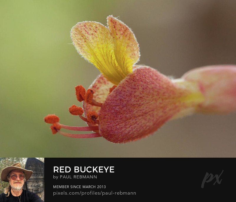 View online purchase options for Red Buckeye by Paul Rebmann