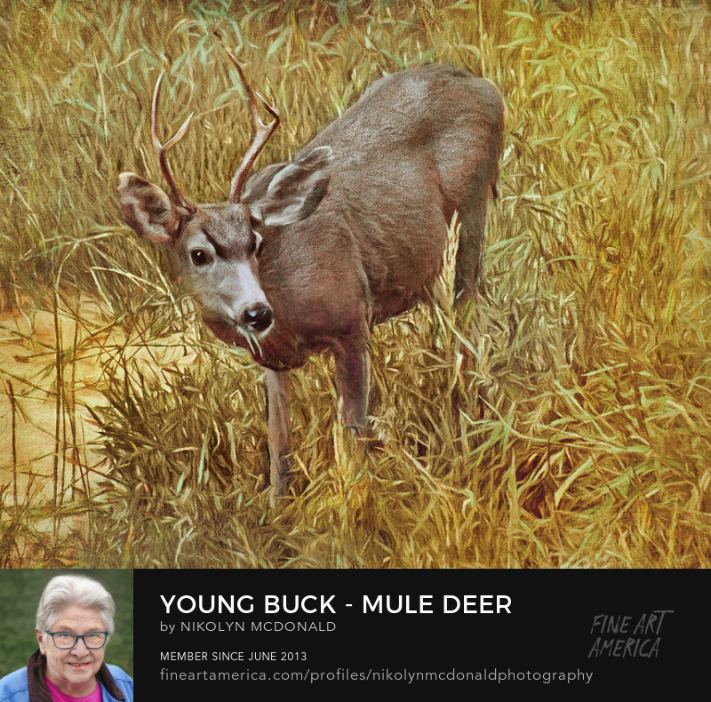 mule deer in grasses with head up by nikolyn mcdonald
