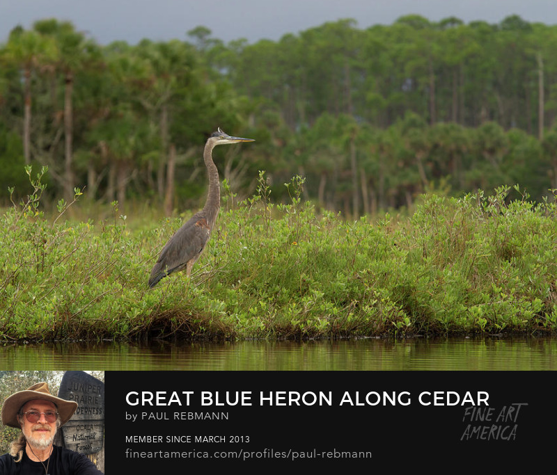 View online purchase options for Great Blue Heron Along Cedar Creek by Paul Rebmann