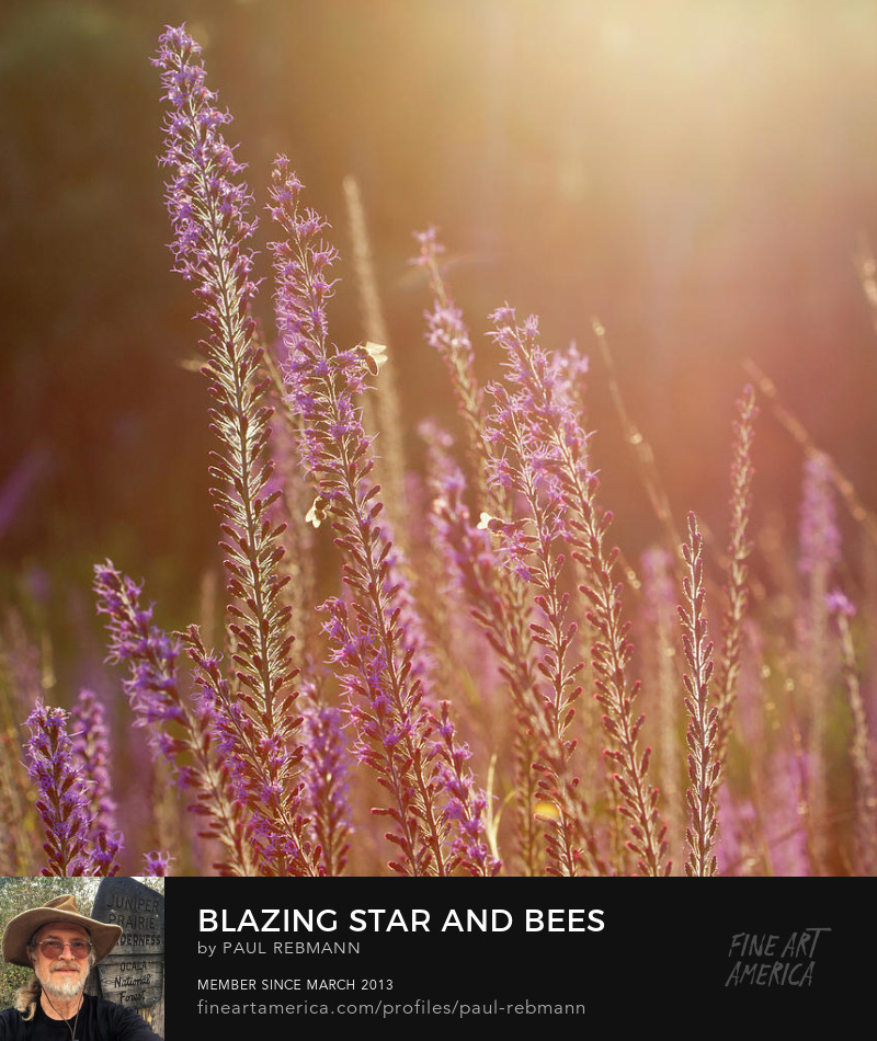 Blazing Star and Bees by Paul Rebmann