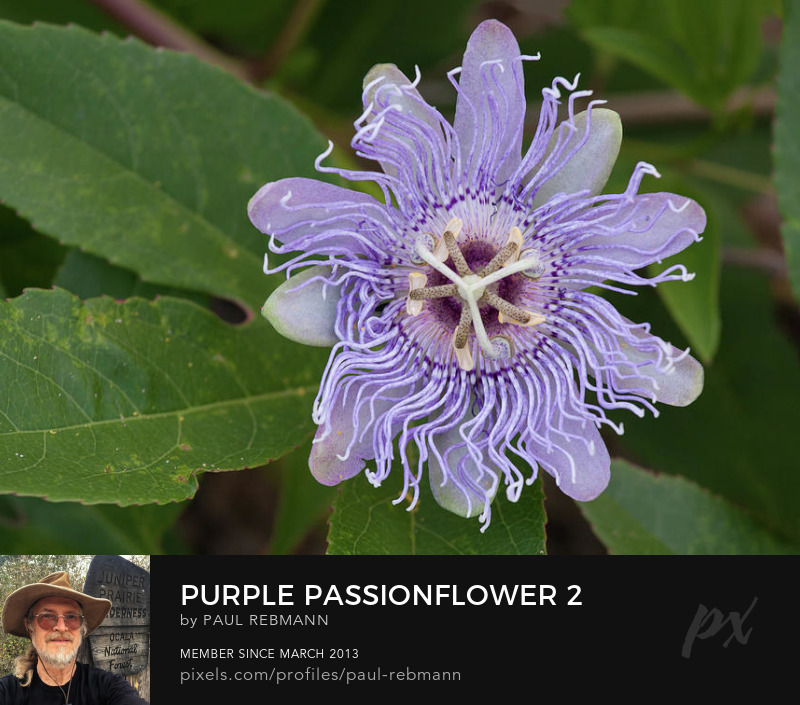 View online purchase options for Purple Passionflower #2 by Paul Rebmann