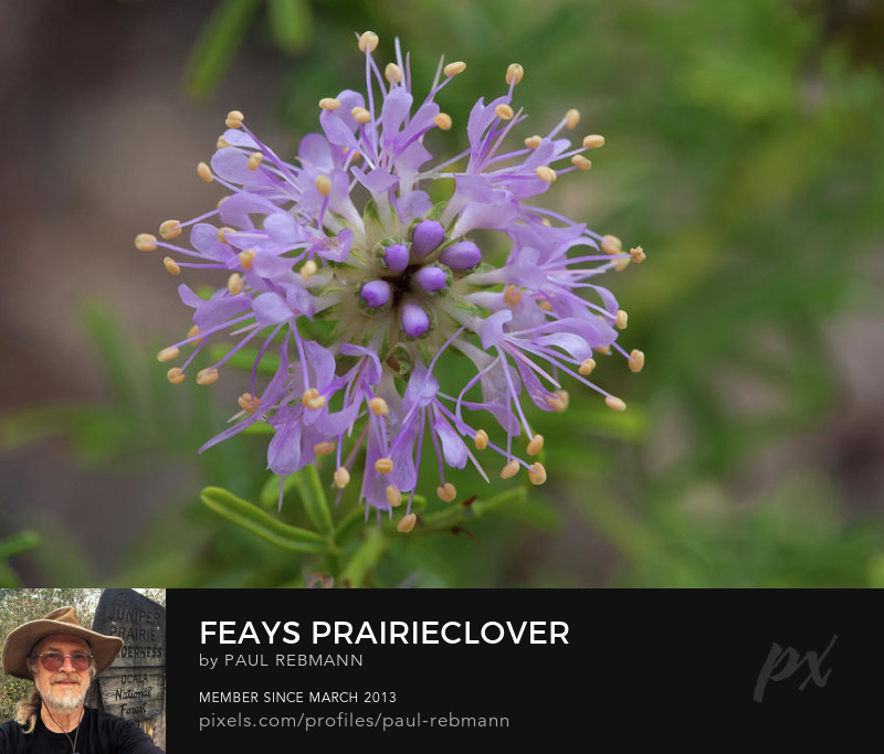 View online purchase options for Feay's Prairieclover by Paul Rebmann
