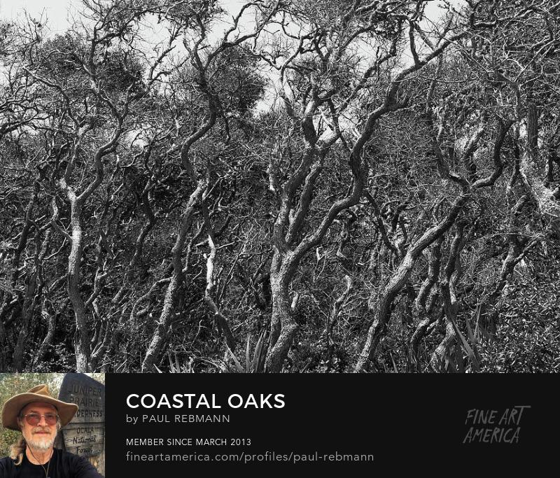 Coastal Oaks by Paul Rebmann