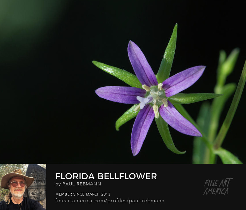 View online purchase options for Florida Bellflower by Paul Rebmann