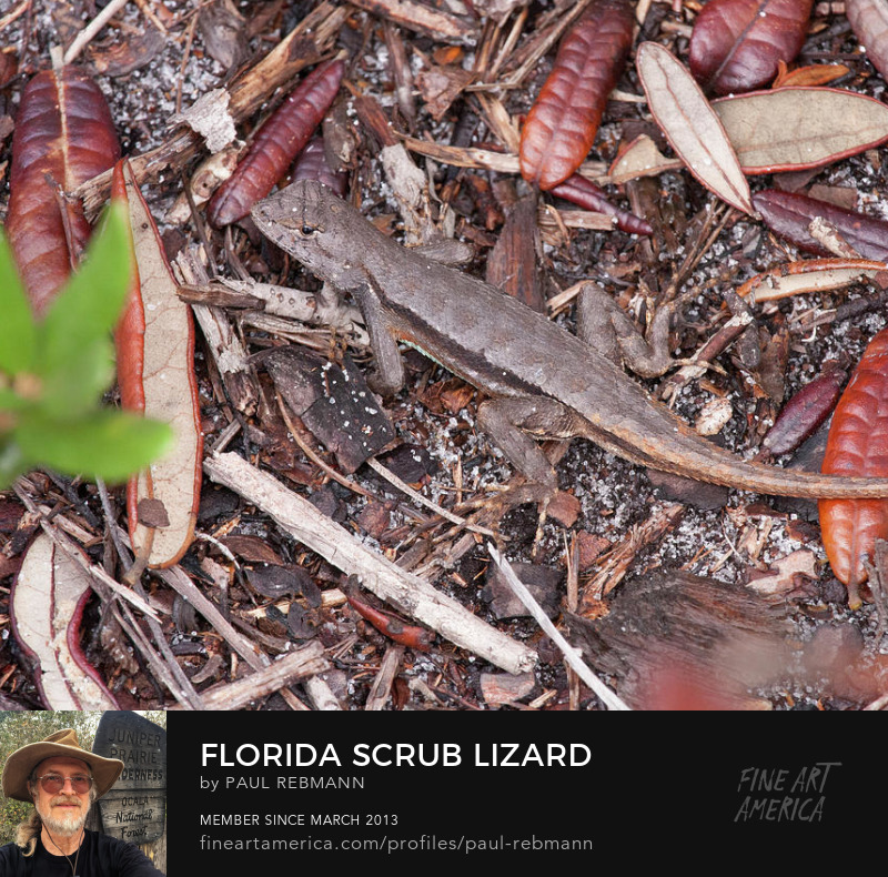 View online purchase options for Florida Scrub Lizard by Paul Rebmann title=