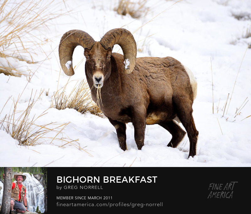 Bighorn sheep in Yellowstone National Park during winter