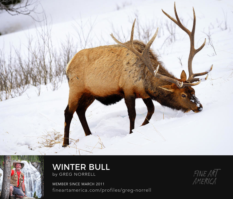 Yellowstone bull elk in winter