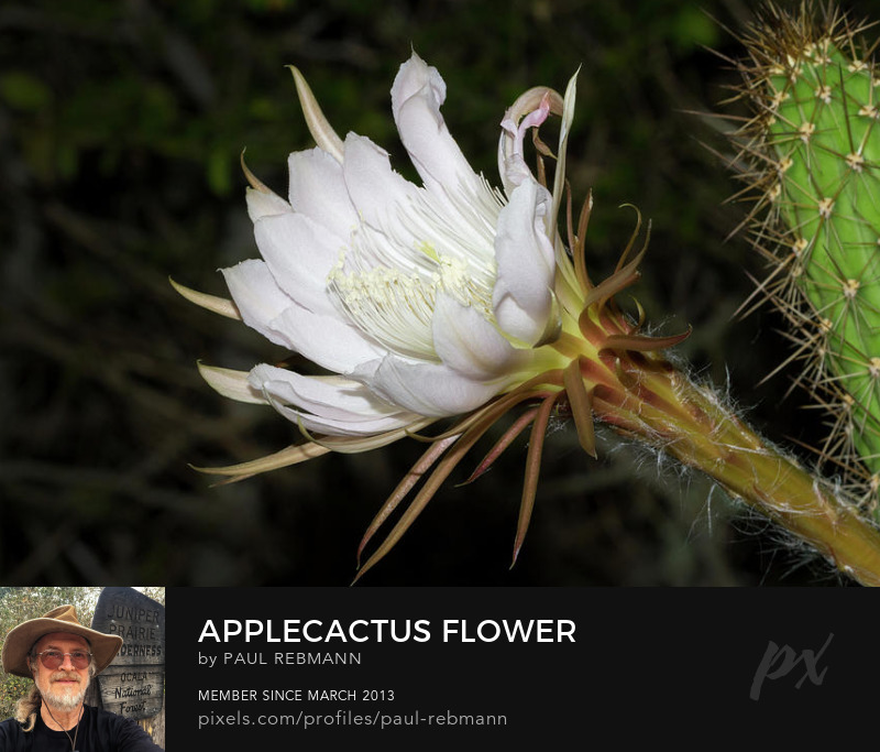 View online purchase options for Applecactus Flower by Paul Rebmann title=