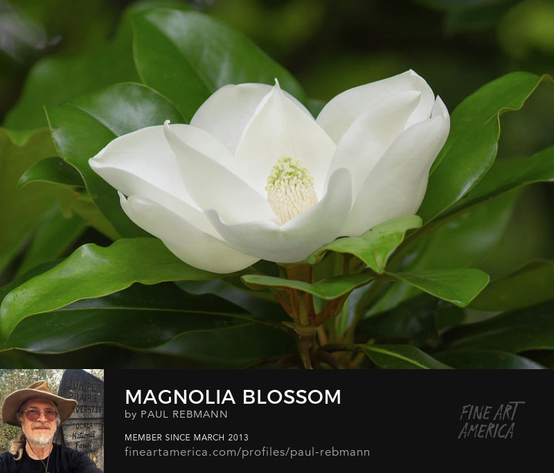 View online purchase options for Magnolia Blossom by Paul Rebmann