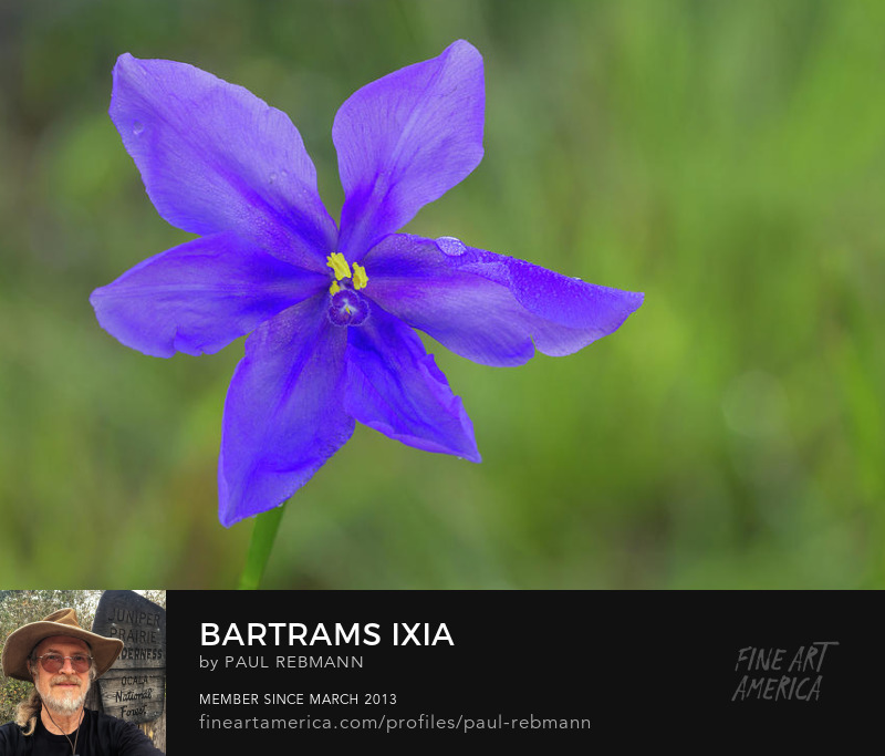 Bartrams Ixia by Paul Rebmann