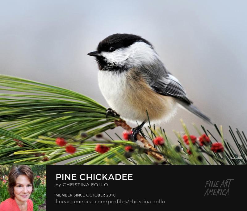 Pine Chickadee