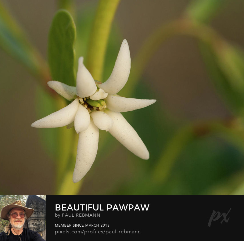 View online purchase options for Beautiful Pawpaw by Paul Rebmann