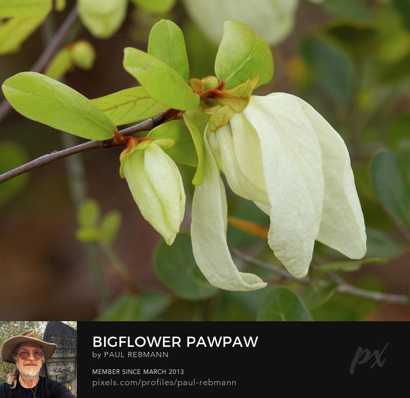 View online purchase options for Bigflower Pawpaw by Paul Rebmann