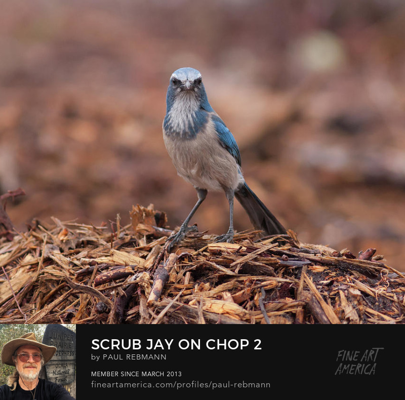 View online purchase options for Scrub Jay on Chop #2 by Paul Rebmann