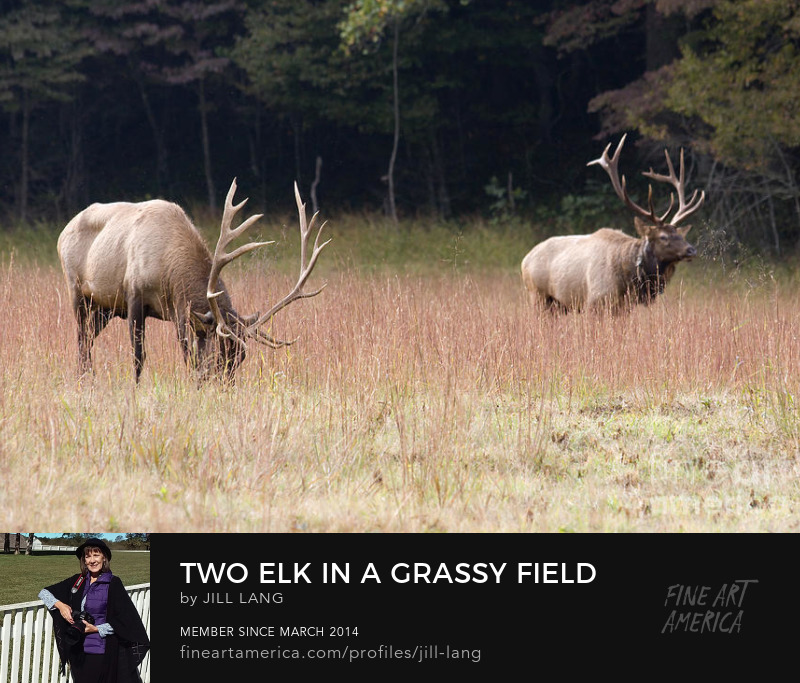 Bull Elk in a grassy field