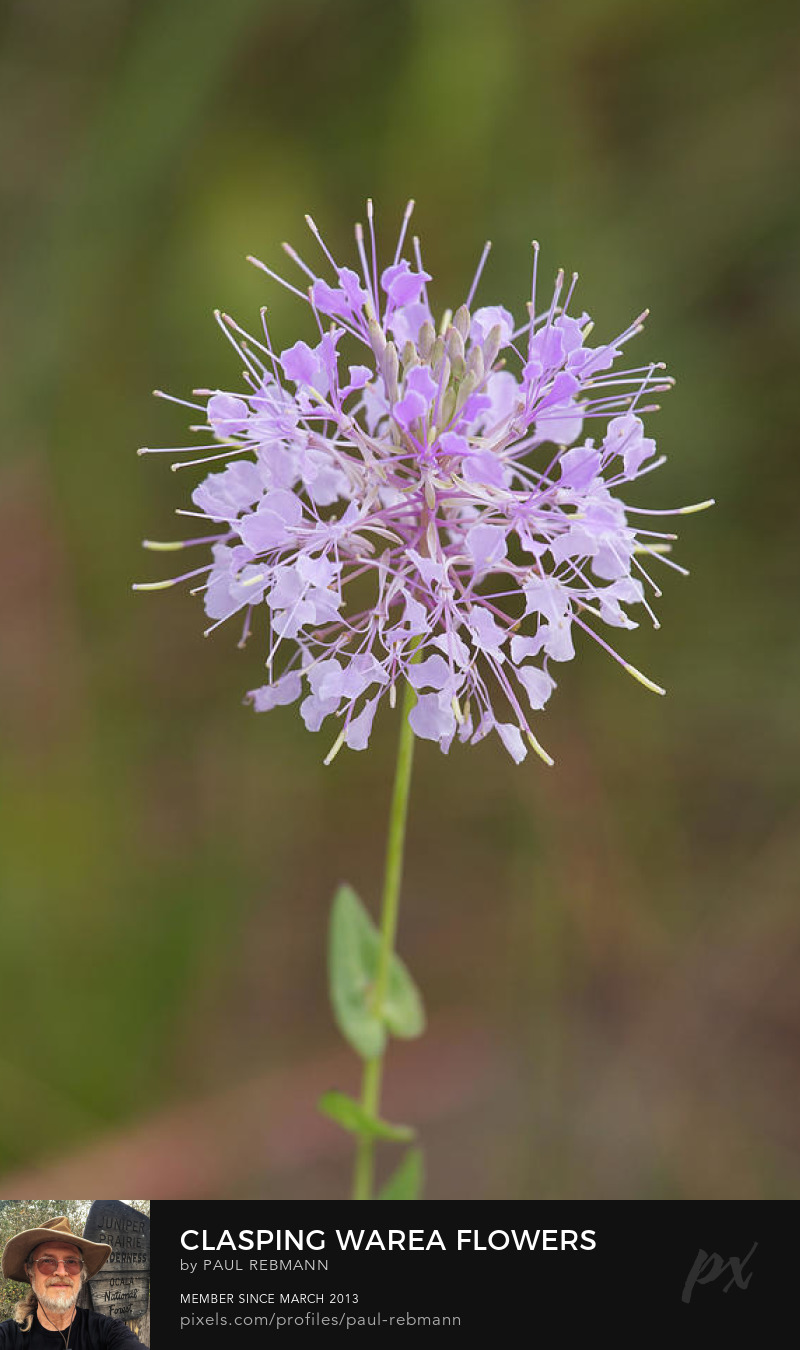 View online purchase options for Clasping Warea Flowers by Paul Rebmann