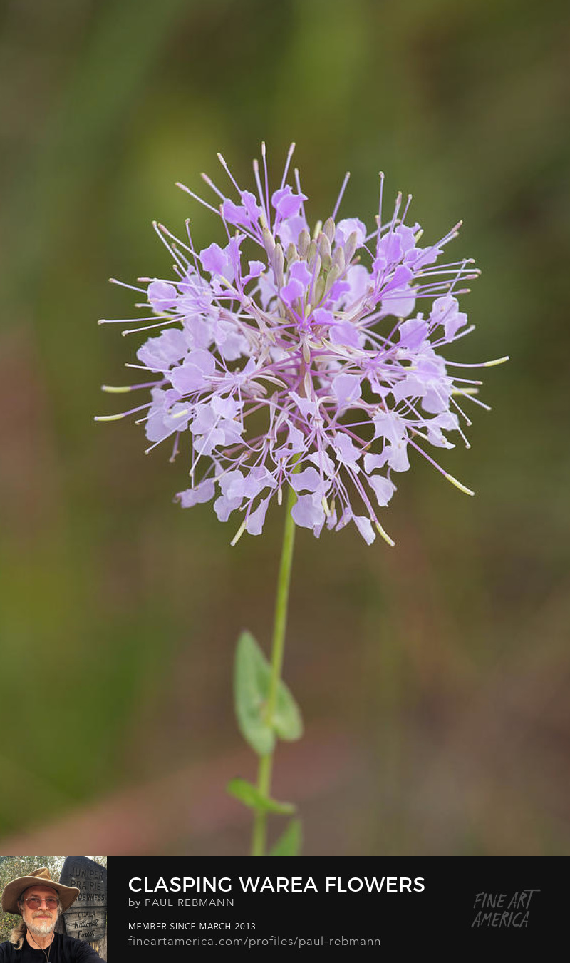 Clasping Warea Flowers by Paul Rebmann