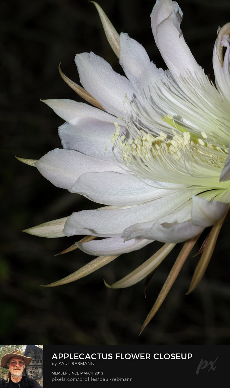 View online purchase options for Applecactus Flower Closeup by Paul Rebmann