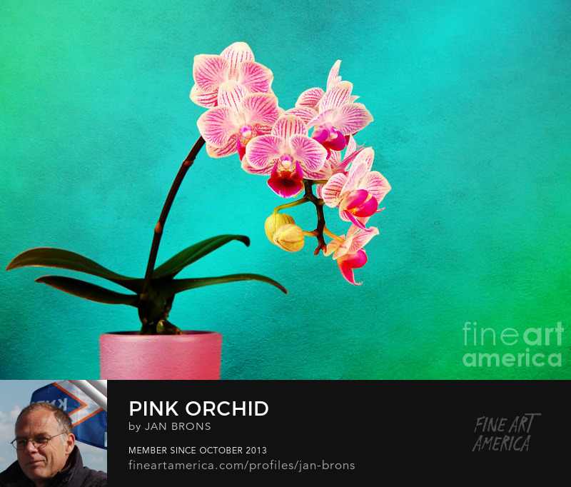 Pink Orchid - Photography Prints