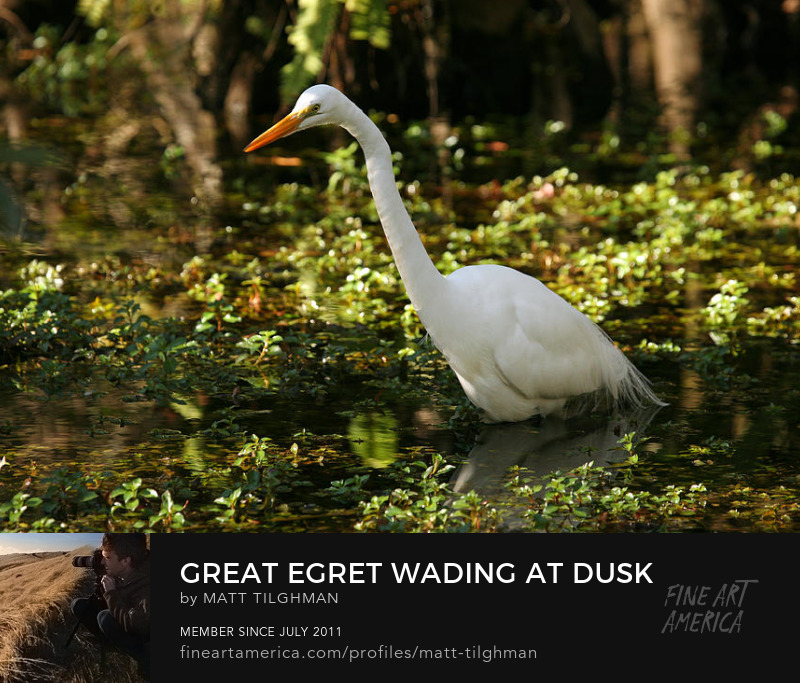 Great Egret Photography Prints