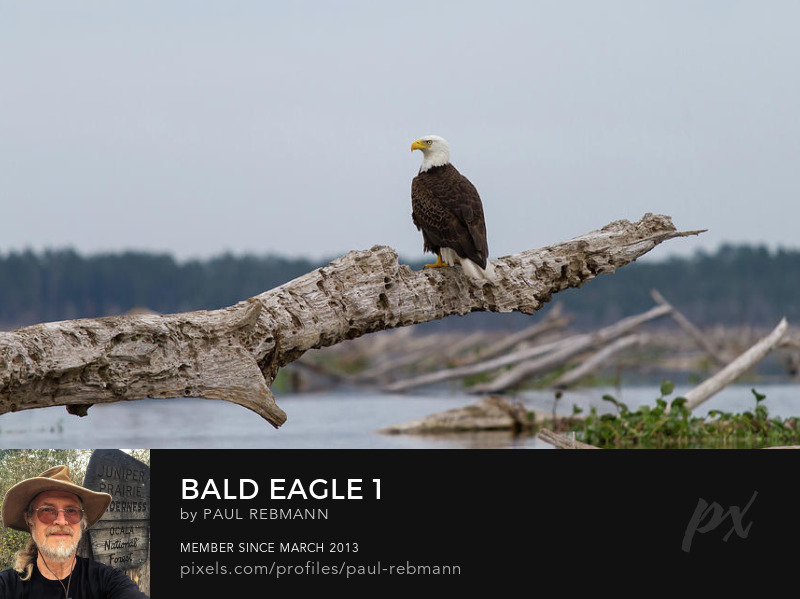 View online purchase options for Bald Eagle #1 by Paul Rebmann