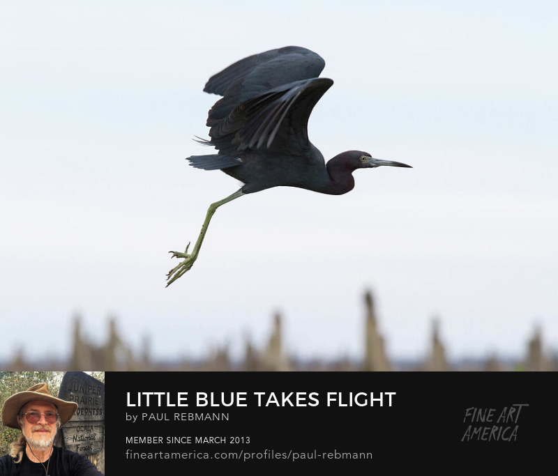 Little Blue Takes Flight by Paul Rebmann
