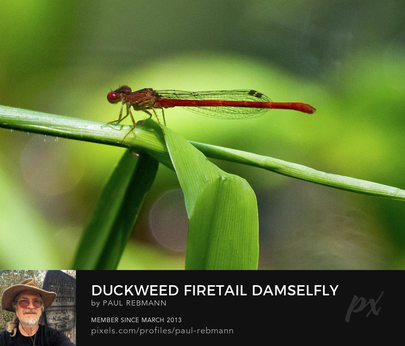 View online purchase options for Duckweed Firetail Damselfly by Paul Rebmann