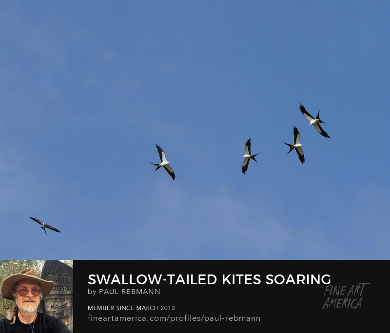 View online purchase options for Swallow-tailed Kites Soaring by Paul Rebmann