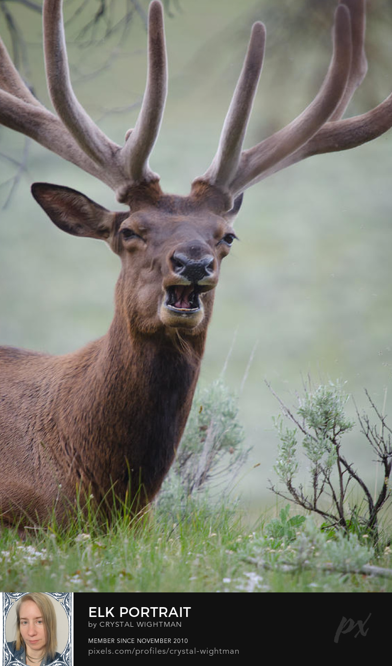 A elk showing off his rack in Yellowstone National park.