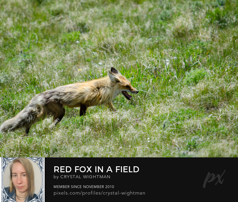 A red fox in a field in Yellowstone National Park