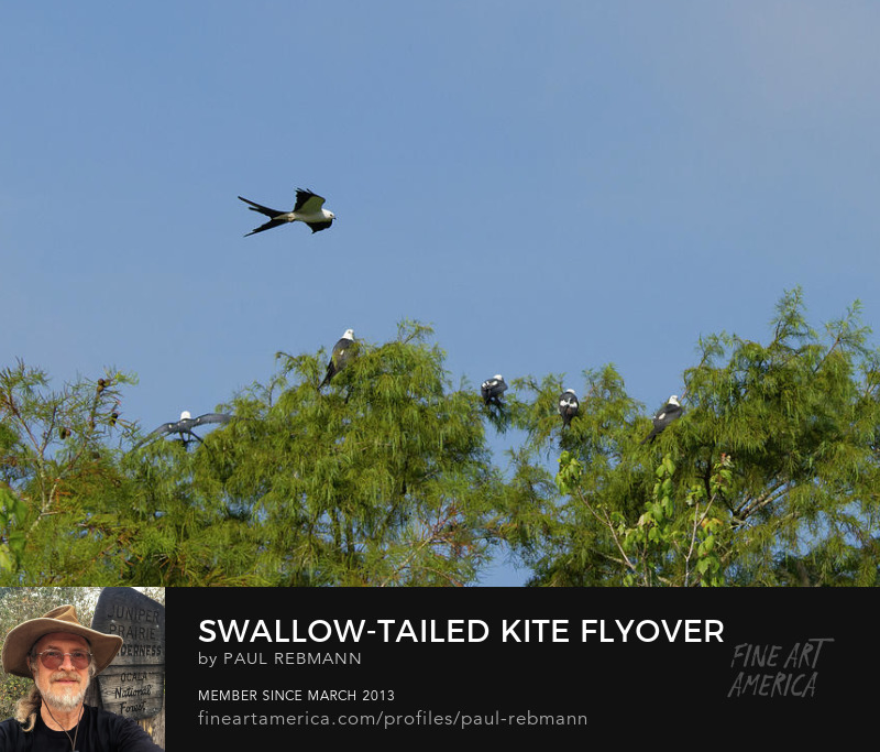 View online purchase options for Swallow-tailed Kite Flyover by Paul Rebmann