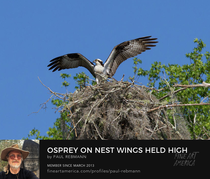 View online purchase options for Osprey on Nest Wings Held High by Paul Rebmann