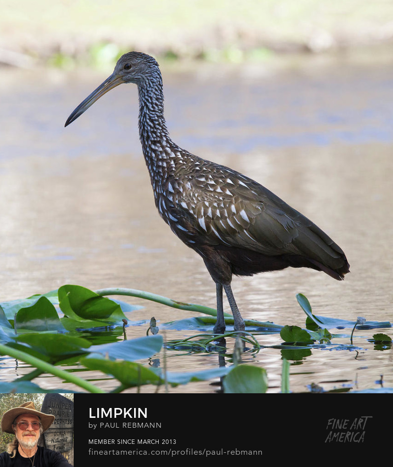 Limpkin by Paul Rebmann
