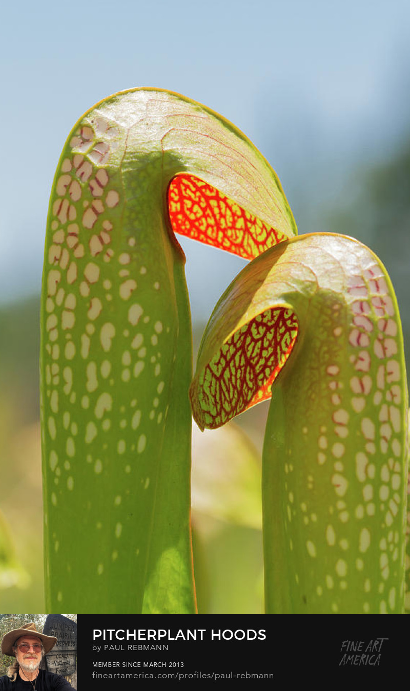 Pitcherplant Hoods by Paul Rebmann