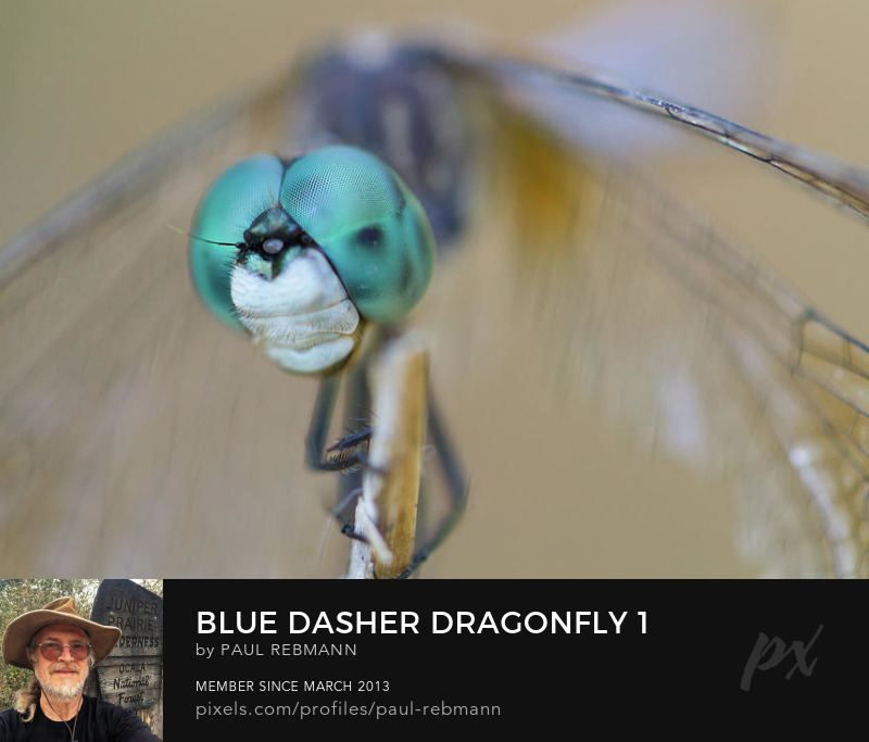 View online purchase options for Blue Dasher Dragonfly #1 by Paul Rebmann