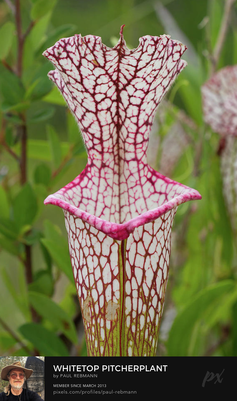 View online purchase options for Whitetop Pitcherplant by Paul Rebmann