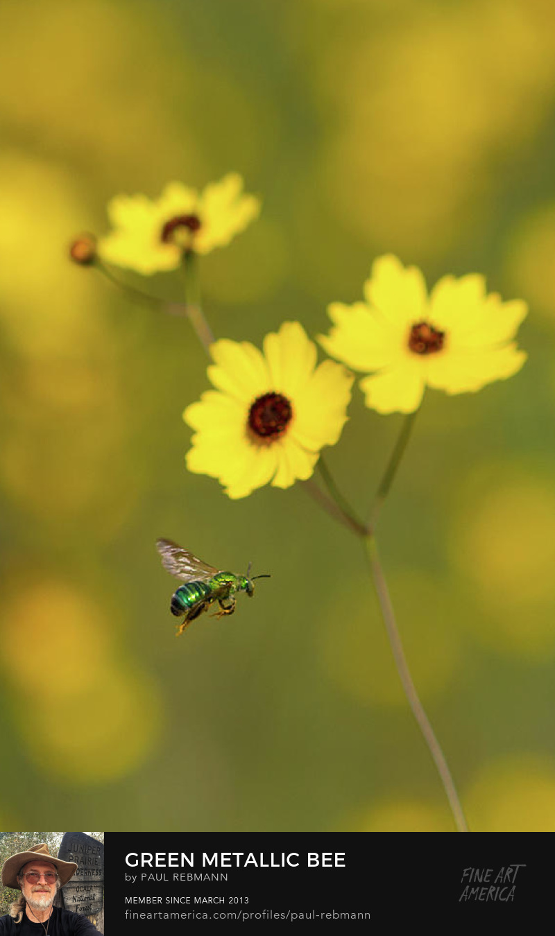 View online purchase options for Green Metallic Bee by Paul Rebmann