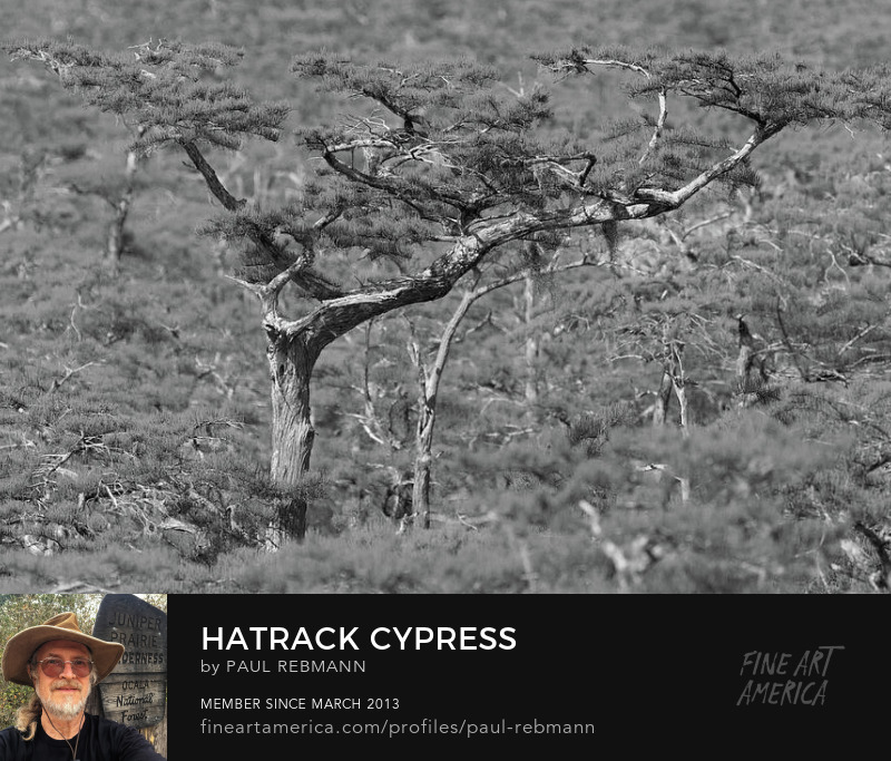 Hatrack Cypress by Paul Rebmann