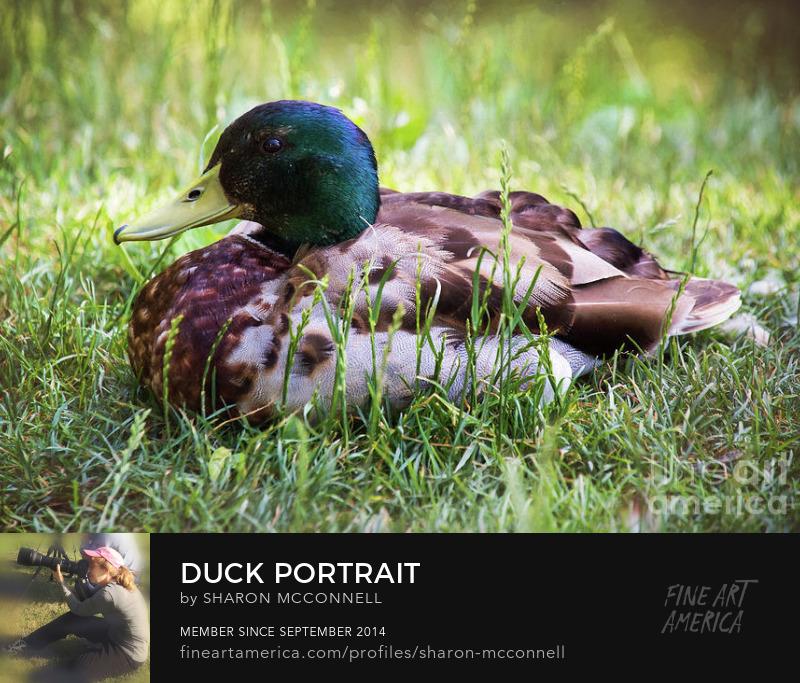 Mallard Duck Portrait Outdoor Nature Bird Photography Sharon McConnell