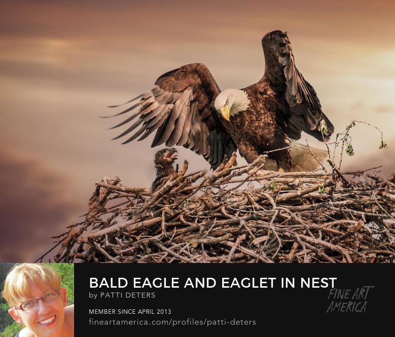eagle eaglet baby nest sepia avian raptor spring ©patti-deters.pixels.com